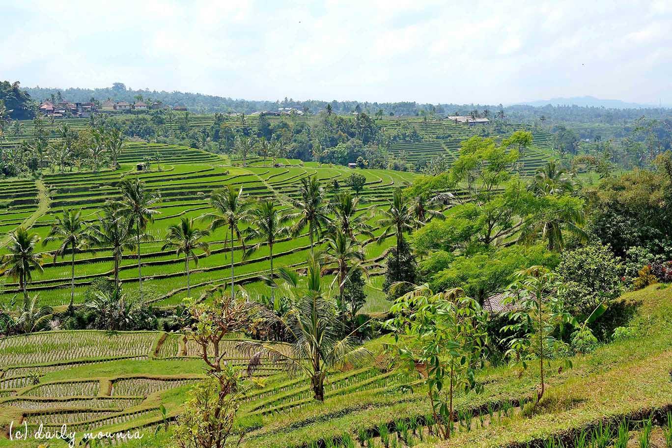 indonésie, bali, rizière